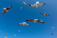 Many seagulls fly against the blue sky