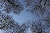 Frühlingserwachen... Baumkronen *Fagus sylvatica*
