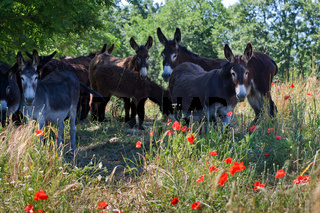 Herd of Donkeys in Italy, Le Marche