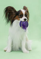 Beautiful young continental spaniel papillon holds in the mouths of hats off with feather on a green background