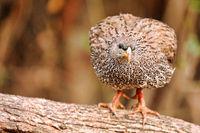 Frankolin, Kruger NP, Südafrika, Spurfowl, Kruger NP, South Africa