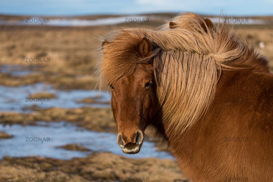 Portrait eines Islandpferd auf Island