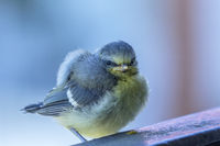Young blue tit bird in spring