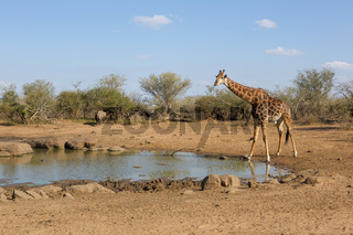 A giraffe in the Kruger National Park South Africa