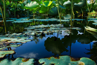 Dried lotus leaf in the pool in garden