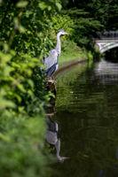 Grey Heron, Denmark