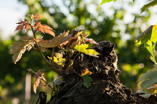 Small plant of vine born on a trunk