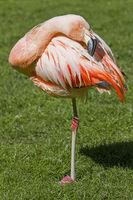 Rosaflamingo auf einem Bein stehend
