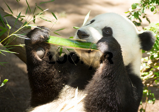 Endangered Animal Wildlife Giant Panda Eating Bamboo Stalk