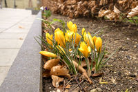 Yellow crocus flowers in the springtime
