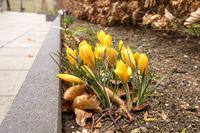 Yellow crocus flowers in the springtime