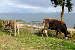 Titicacasee Kühe
