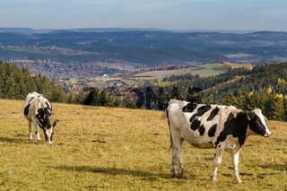 Kuh mit Blick auf die Landschaft des Thüringer Waldes