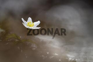 Buschwindröschen-(Anemone-nemorosa)12.jpg
