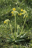 Wiesen-Schluesselblume (Primula veris)