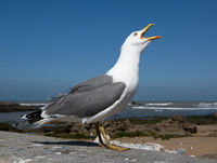 Big seagull close up
