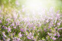 Erica Flower Field, Summer Season