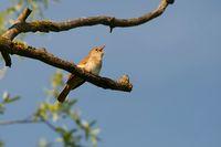 Nachtigall im Baum singend