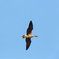wild goose flying