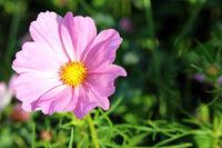 Rosa Sommerblume