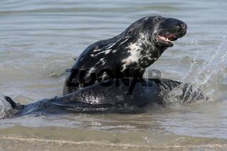 Kegelrobbe, Halichoerus grypus, Grey Seal