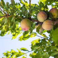 peach fruits on tree in Sicily