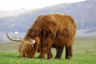 Kuh, Schottisches Hochlandrind,