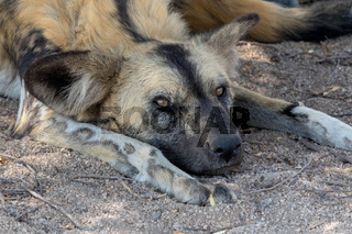 Wild dog having rest