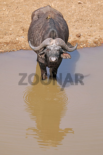 Kaffernbüffel an einem Fluss im Kruger Nationalpark, Südafrika, South Africa, African buffalo