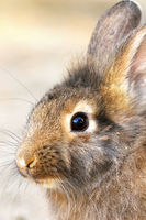 cute portrait of a domestic rabbit