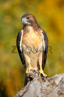 Red-tailed hawk sitting on a stump