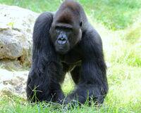 Gorilla's male