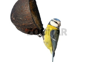 blue tit on garden feeder isolated over white background ( Cyanistes caeruleus )