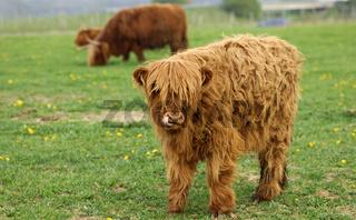 Kalb, rotbraunes Schottisches Hochlandrind
