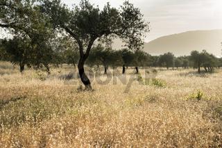Olivenhain bei Alghero, Sardinien