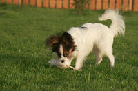 Beautiful young male dog Continental Toy Spaniel Papillon playing with plush toy on green lawn
