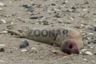 Seehund (Phocca vitulina)