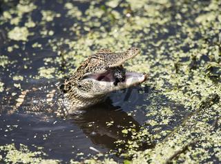 Baby American Alligator feeding