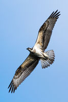 Osprey in Flight VI