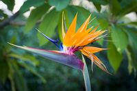 Crane Flower Plant