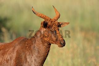 Tsessebe antelope portrait