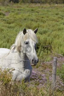 Weißes Pferd in der Camargue