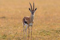 Thomson's gazelle on the savannah