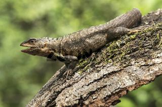 Puyango Leguan (Stenocercus puyango), Jorupe Naturreserve, Ecuador