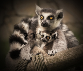 Two lemurs sit cuddling together