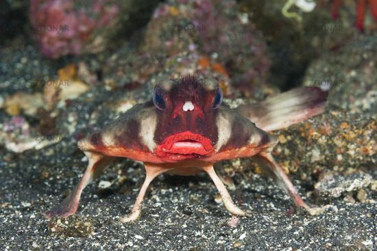 Rotlippen-Fledermausfisch, Galapagos, Ecuador