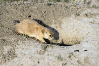 Prairie Dog Stand Sentry Underground Home Entrance