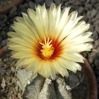 Kaktusbluete,  Astrophytum, Myriostigma