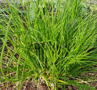 Schnittlauch weisser, Allium schoenoprasum, Corsican White, Kraeuter, Heilpflanze