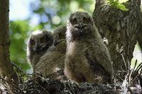 groß geworden... Europäischer Uhu *Bubo bubo*, Junguhus in einem Baumnest, alter Habichthorst